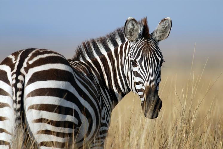 Zinātnieki nāk klajā ar jaunu versiju, kādēļ zebras ir strīpainas